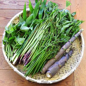 5月下旬に採れる山菜の一例