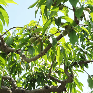 摘果前の桃の木