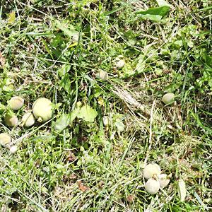 摘果された桃の実