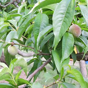 色がつきはじめた桃の実